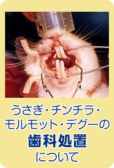 うさぎ・チンチラ・モルモット・デグーの歯科処置について